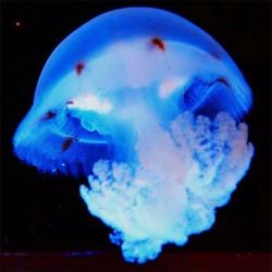 comprar medusa viva red cross blubber cruz roja acuario de medusas