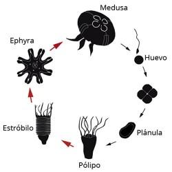 ciclo-de-vida-medusa-luna-aurelia-aurita-acuario-de-medusas